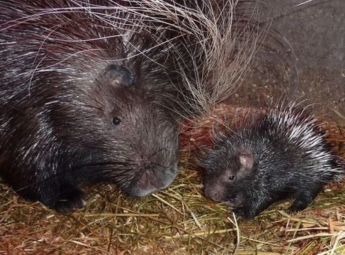Mother's Day Porcupines