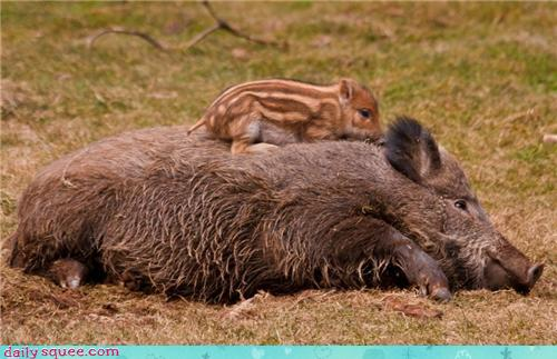 Mother's Day Wild Boars