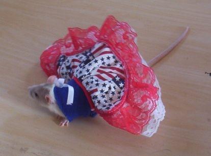 Fourth of July Rat