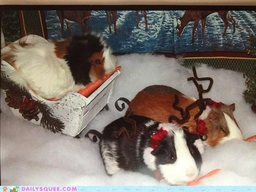 Christmas Guinea Pigs 4