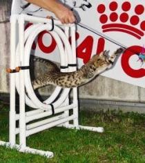 Agility Cat