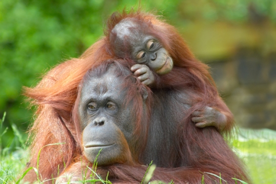 Mother's Day Orangutans