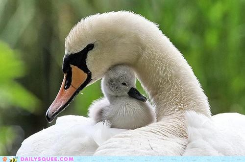 Mother's Day Swans 2