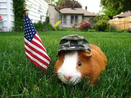 Fourth of July Guinea Pig