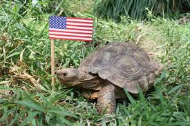 Fourth of July Turtle 2