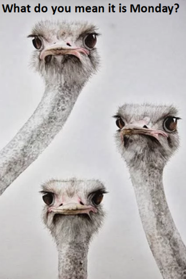 monday-ostriches