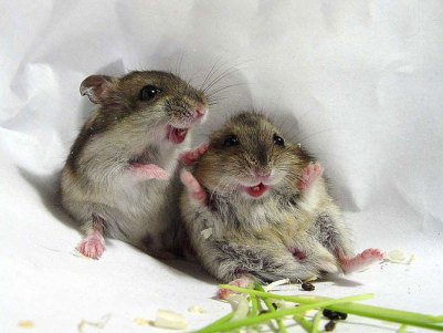 laughing-rodents